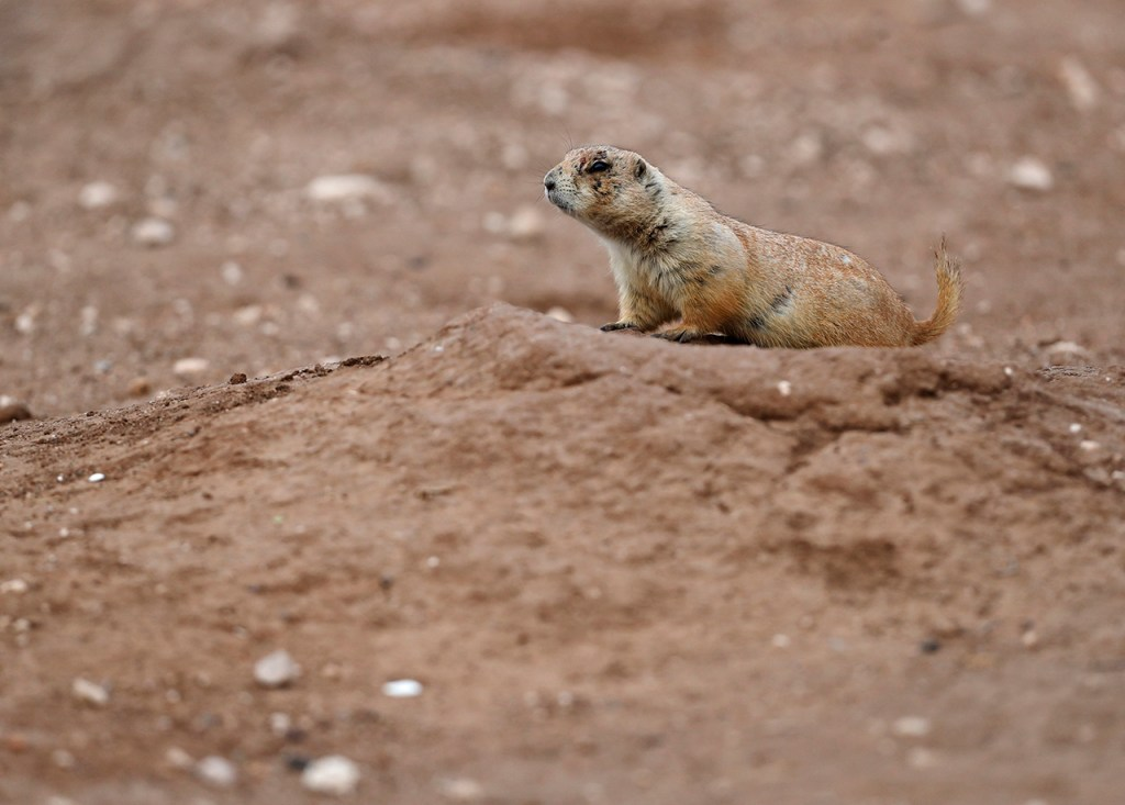 A black-tailed prairie dog at Prairie Dog Town, Tuesday, Feb. 5, 2019, in Lubbock, Texas. (Brad Tollefson)