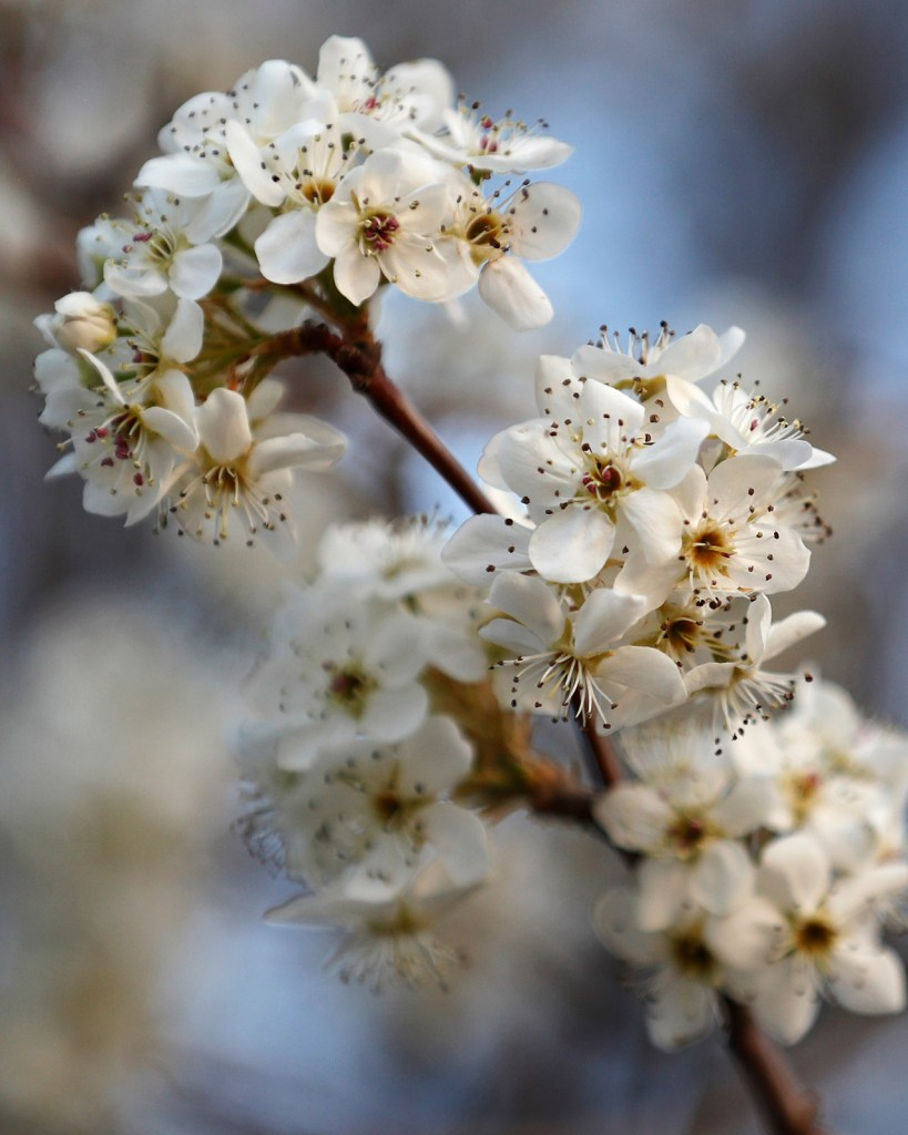 Bradford Pear tree blossoms grow on trees around Texas Tech, Monday, Feb. 25, 2019, in Lubbock, Texas. (Brad Tollefson)