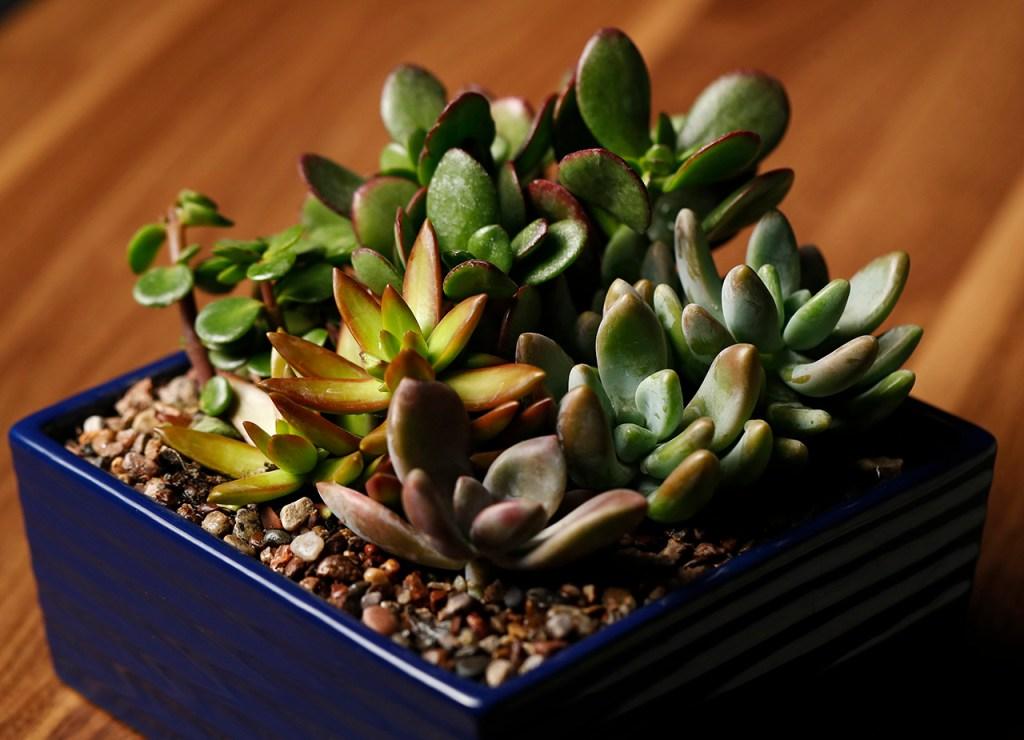 A pot of succulent plants, Saturday, March 16, 2019, in Lubbock, Texas. (Brad Tollefson)
