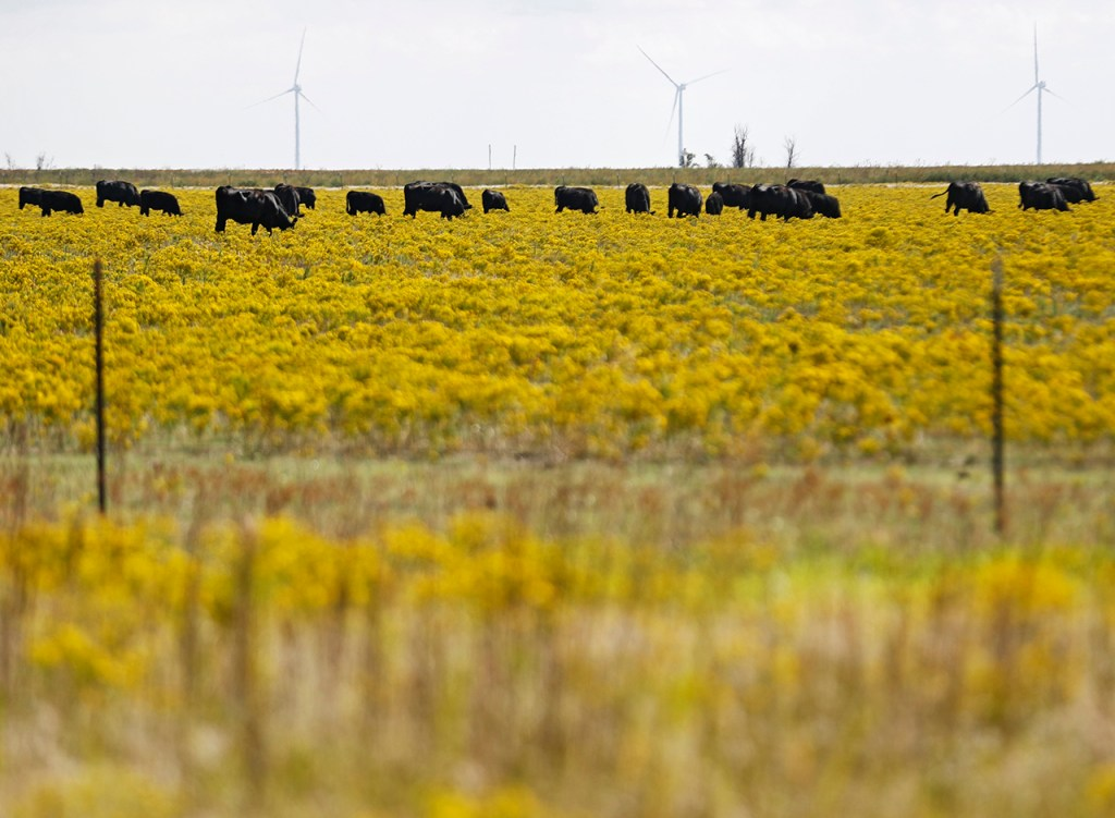 Cattle graze in a field of wildflowers Sunday, Sept. 29, 2019, near Claude, Texas. [Brad Tollefson/A-J Media]