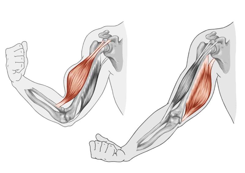肌肉運作的圖片搜尋結果