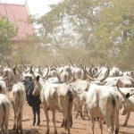 Benue State Government Impounds 376 Cows, Arrest Six Herdsmen For Flouting Anti-Open Grazing Law