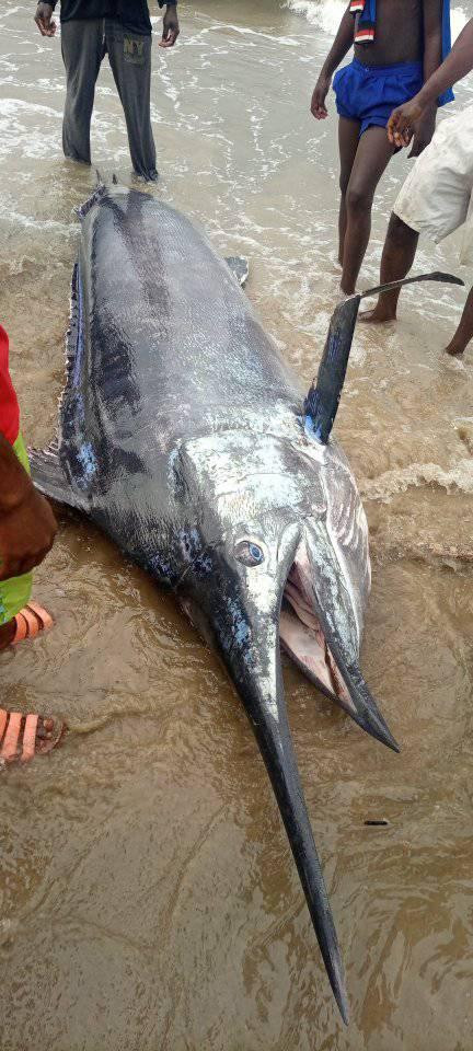 See Photos As Fisherman Catches Giant Swordfish In Rivers State