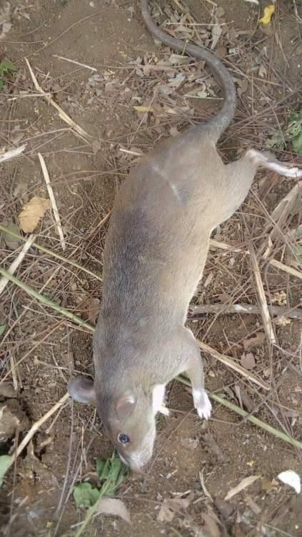 Nigerian Man Kills Big Bush Rat At His Backyard