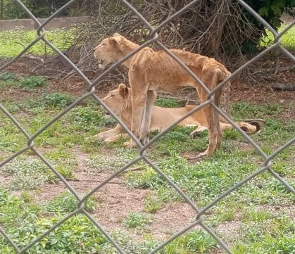 See The Shocking Photos Of Lions In OAU And UI Zoos