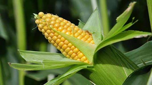 Genetically Modified TELA Maize Safe, Environment-Friendly — Federal Govt