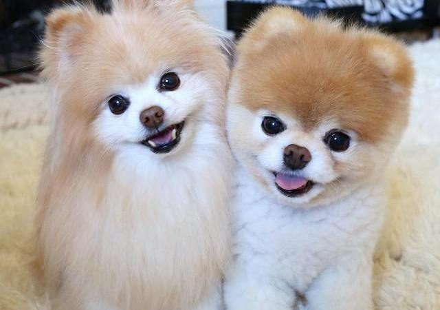 After Losing Its Bestie, World's Cutest Dog Dies Of Heartbreak