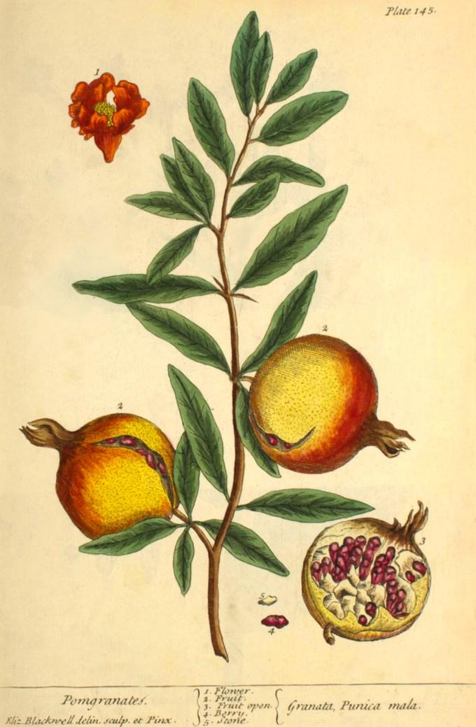 elizabethblackwell_curiousherbal_pomegranate.jpg?resize=680%2C1038