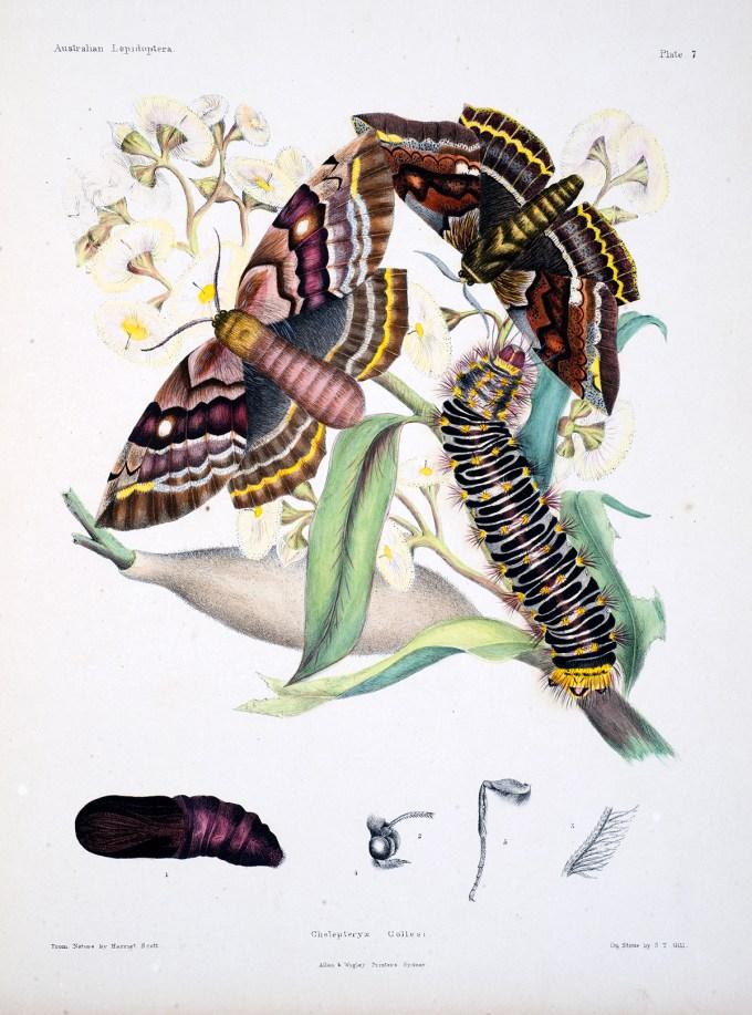 AustralianLepidoptera_Scott3_sm.jpg?resize=680%2C917