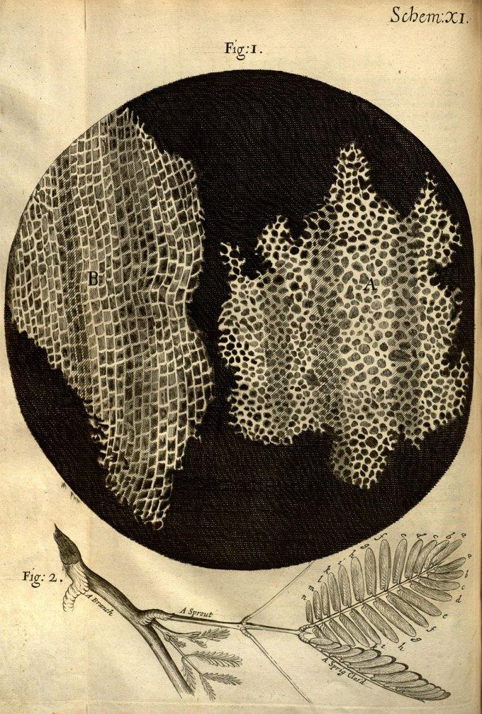 RobertHooke_Micrographia_cork.jpg?resize=680%2C1007