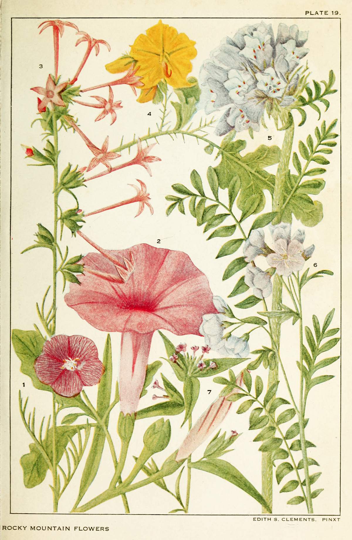 Rocky Mountain Flowers: The Daring Life and Art of Pioneering Plant Ecologist Edith Clements