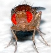 Drosophila face