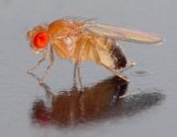 Drosophila_melanogaster_-_side_(aka) (1)