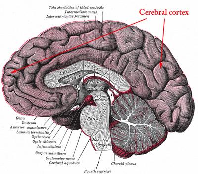 Brain Bits, 4/25/15   Brains Explained