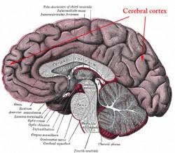 cerebral_cortex