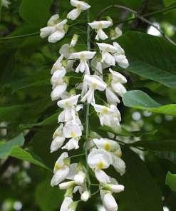 Cladrastris kentuckea, 'American Yellowwood'