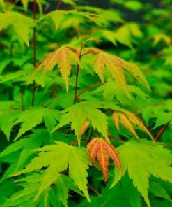 Acer palmatum, 'Green Japanese Maple'
