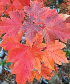 Acer rubrum - Somerset Maple