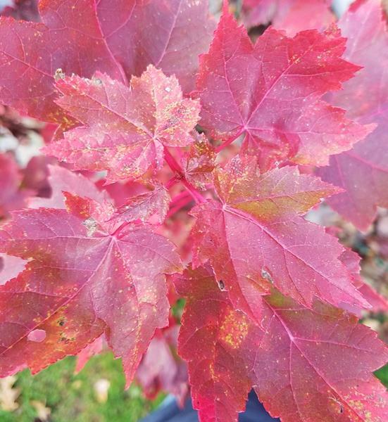 Acer rubrum, 'Brandywine Maple'