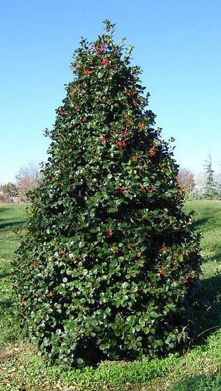 Ilex opaca, 'Greenleaf', 'American Holly'