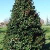 Ilex opaca, 'Greenleaf', 'American Holly'