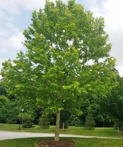 Platanus occidentalis, 'American Sycamore'