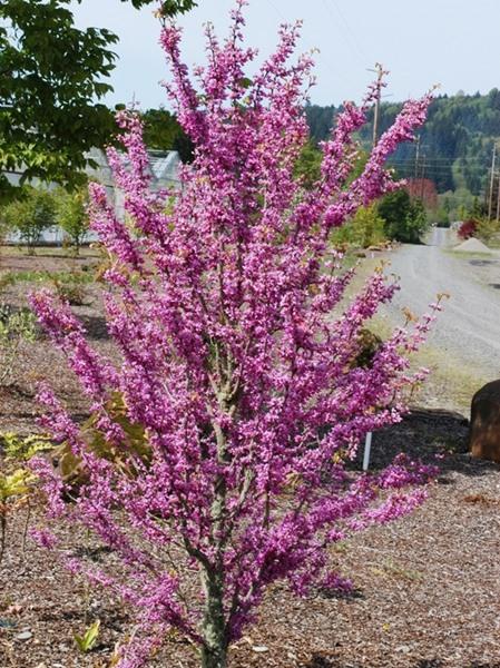 Cercis chinensis, 'Avondale Redbud'