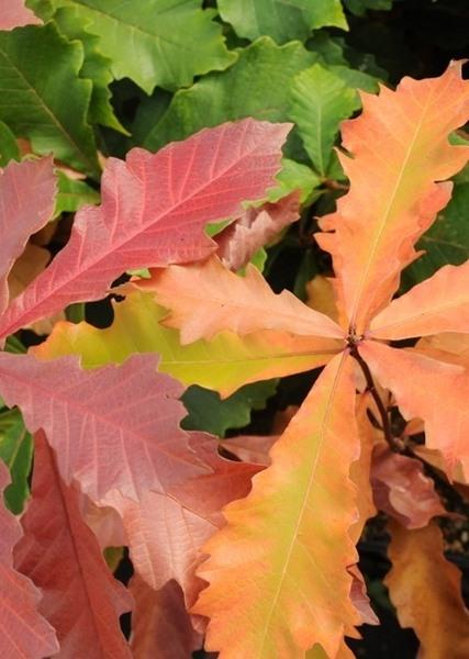 Quercus bicolor, 'Swamp White Oak'