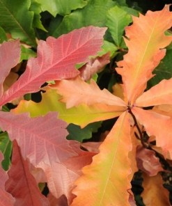 Quercus bicolor, 'Swamp White Oak'