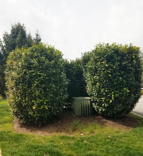 Prunus laurocerasus 'Schipkaensis'
