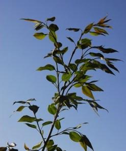Syringa pekinensis, 'China Snow Lilac'