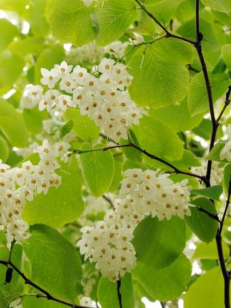 Styrax obassia, 'Fragrant Snowbell'