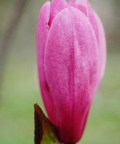 Magnolia, 'Galaxy'