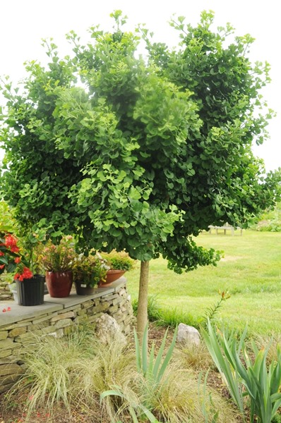 Ginkgo Biloba Mariken Dwarf Ginkgo Brandywine Trees