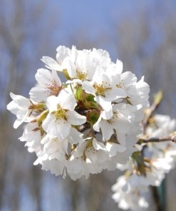 Prunus subhirtella, 'Pendula'