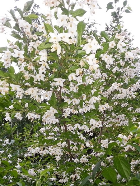 Styrax japonicus, 'Japanese Snowbell'