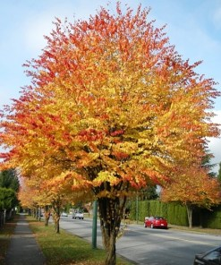 Cercidiphyllum japonicum 'Katsura Tree '