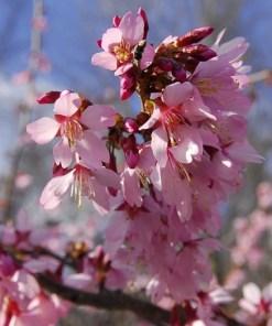 Prunus x okame, 'Okame Cherry'