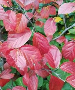 Parrotia persica, 'Ironwood'