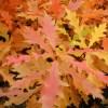 Quercus palustris, 'Pin Oak'