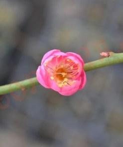 Prunus mume 'Dawn'