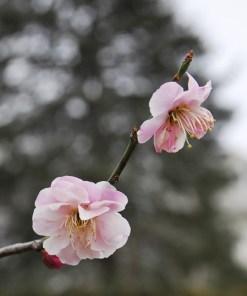 Prunus mume 'Rosebud'
