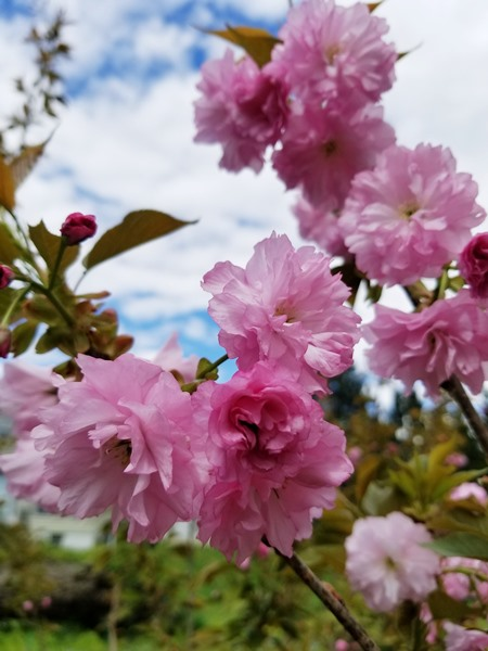 Prunus serrulata - Kwanzan cherry