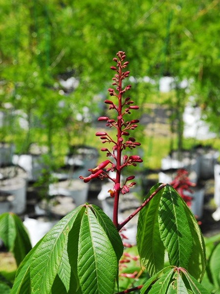 Aesculus pavia, 'Red Buckeye'