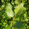 Betula nigra 'Duraheat'