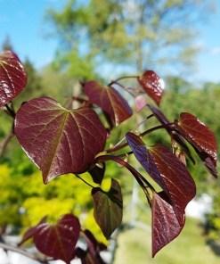 Cercis canadensis 'Ruby Falls Redbud'