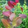 Cotinus coggygria, 'Grace Smoke Tree'