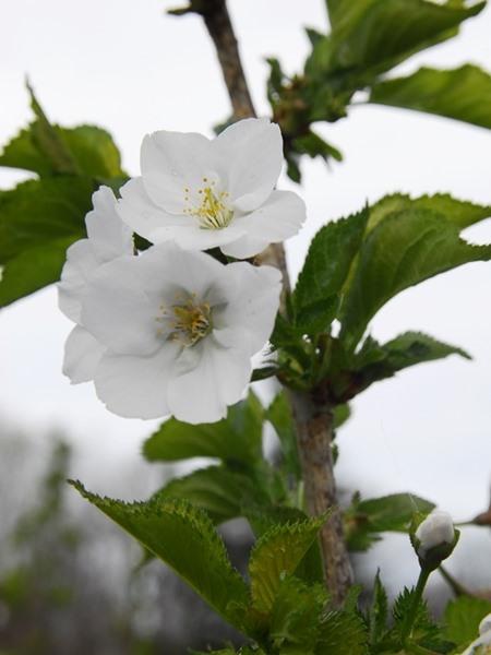 Prunus serrulata, 'Snow Goose'