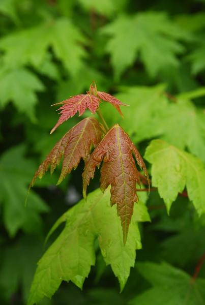 Acer rubrum, 'Sun Valley Maple'