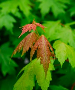 Acer rubrum, 'Sun Valley Maple'